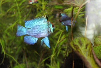 Мои аквариумы Алексей7  - IMG_0240.JPG
