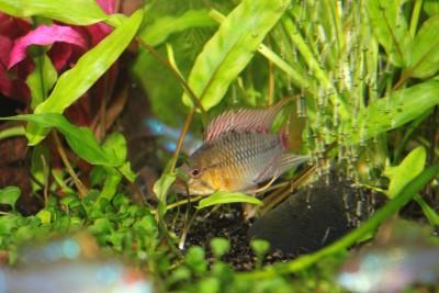 Мои аквариумы Алексей7  - IMG_0537.JPG