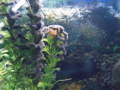 Чёрная борода в аквариуме - IMG_6417.jpg