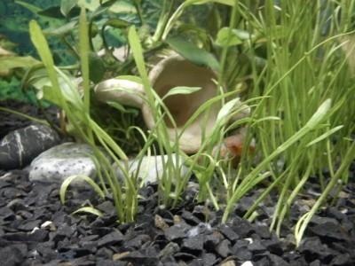 Опознание аквариумных растений - DSC00352.JPG