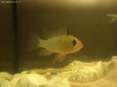 Помогите опознать рыбку опознание рыб  - DSC00947.JPG