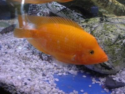 Помогите опознать рыбку опознание рыб  - cichlasoma_citrinellum.jpg