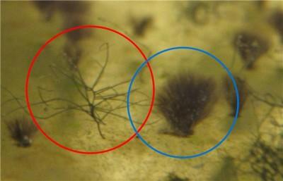 Чёрная борода в аквариуме - a149c0a51dd1.jpg