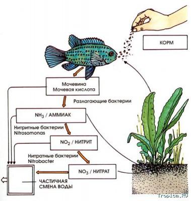 Цикл азота и синдром нового аквариума - nitrat.jpg