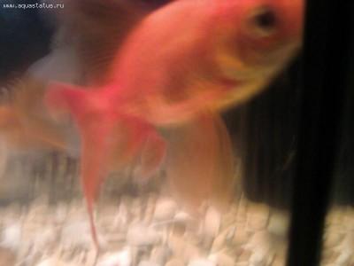 Золотая рыбка - Фото-0156.jpg
