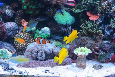 Мои морские аквариумы Илья  - i9.JPG