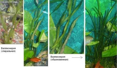 Опознание аквариумных растений - Валлиснерия.JPG