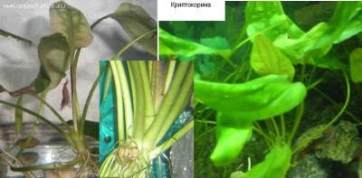 Аквариумные растения - опознание растений. - Криптокорина.JPG