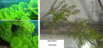 Аквариумные растения - опознание растений. - Лимнофила (амбулия).JPG