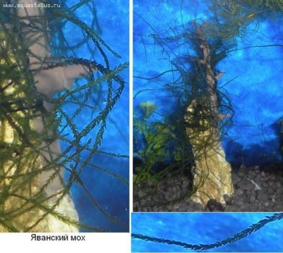 Опознание аквариумных растений - Яванский мох.JPG