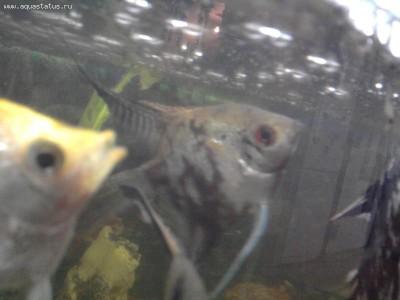 Помогите опознать рыбку опознание рыб  - Фото0790.jpg