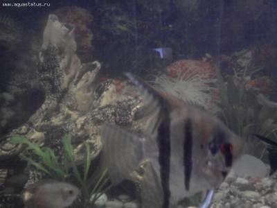 Помогите опознать рыбку опознание рыб  - Фото0785.jpg