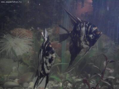 Помогите опознать рыбку опознание рыб  - Фото0784.jpg