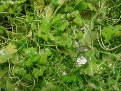Опознание аквариумных растений - трава.JPG