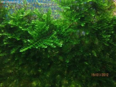 Опознание аквариумных растений - IMG_0312.jpg