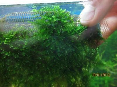 Опознание аквариумных растений - IMG_0316.jpg
