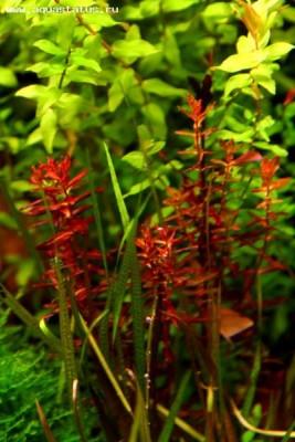 Аквариумные растения - опознание растений. - IMG_3954.JPG