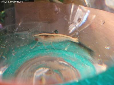 Помогите опознать рыбку опознание рыб  - IMG_2213.jpg