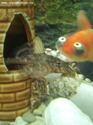 Помогите опознать рыбку опознание рыб  - y_ac27495b.jpg