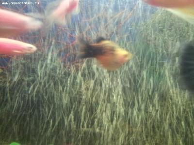 Помогите опознать рыбку опознание рыб  - 20120201_171113.jpg
