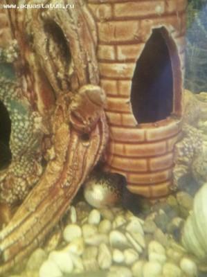 Помогите опознать рыбку опознание рыб  - 20120128_155433.jpg