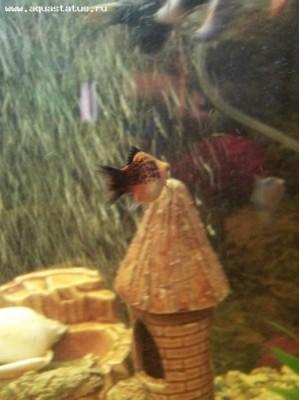 Помогите опознать рыбку опознание рыб  - 20120201_202625.jpg