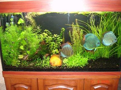 Мои аквариумы Алексей7  - DSC06137.JPG