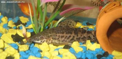 Как определить пол рыбки определение пола - самец или самка  - крапчатый.jpg