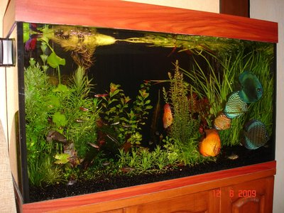 Мои аквариумы Алексей7  - DSC06150.JPG