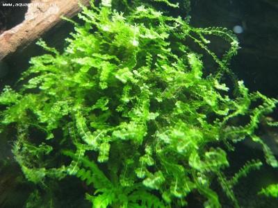 Мох Пеарл Pearl Moss - Blepharostoma trichophyllum  - Pearl Moss.jpg