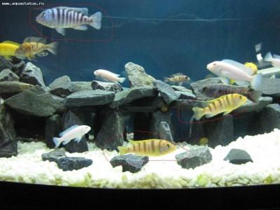 Как определить пол рыбки определение пола - самец или самка  - IMG_2370.JPG