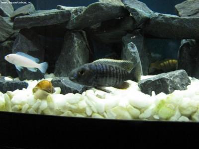 Как определить пол рыбки определение пола - самец или самка  - IMG_2388.JPG