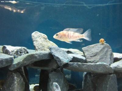 Как определить пол рыбки определение пола - самец или самка  - IMG_2391.JPG