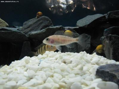 Как определить пол рыбки определение пола - самец или самка  - IMG_2393.JPG