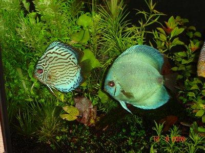 Мои аквариумы Алексей7  - DSC06158.JPG