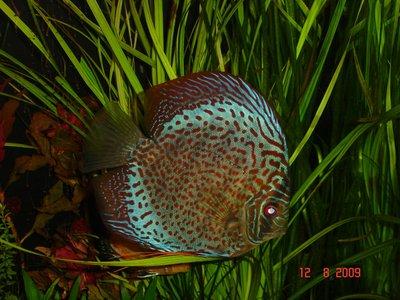 Мои аквариумы Алексей7  - DSC06159.JPG