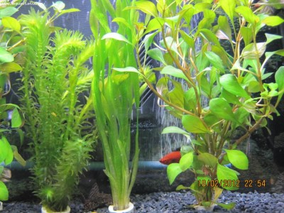 Аквариумные растения - опознание растений. - IMG_1310.JPG