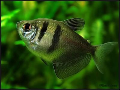 Тернеция в аквариуме - тер 1.jpg