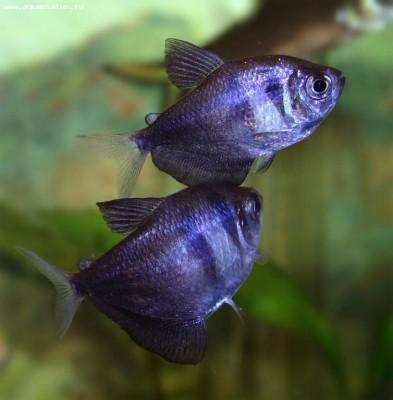 Тернеция в аквариуме - тер 2.jpg