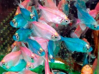 Тернеция в аквариуме - тер кар 2.jpg