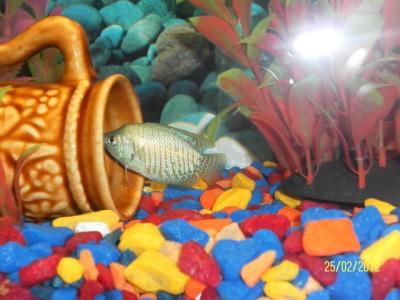 Как определить пол рыбки определение пола - самец или самка  - SAM_1457.JPG