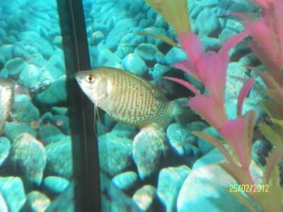 Как определить пол рыбки определение пола - самец или самка  - SAM_1459.JPG