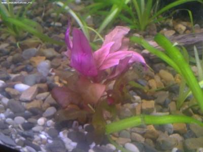 Аквариумные растения - опознание растений. - 25022012200.JPG