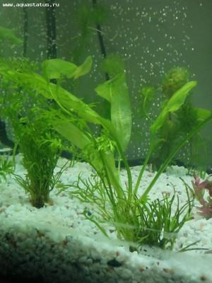 Аквариумные растения - опознание растений. - P2270696.JPG