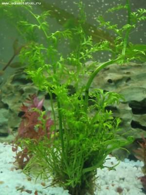 Аквариумные растения - опознание растений. - P2270698.JPG