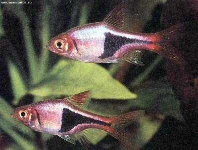Клинопятнистые расборы в аквариуме - рас гет 1.jpg