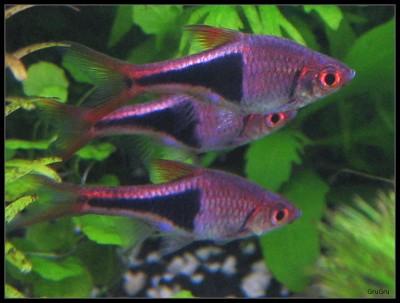 Клинопятнистые расборы в аквариуме - рас гет 2.jpg