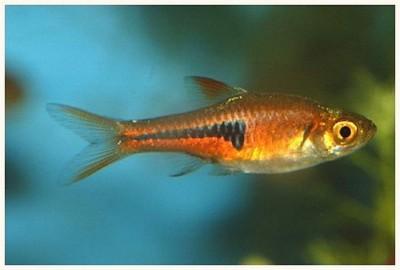 Клинопятнистые расборы в аквариуме - рас э 2.jpg