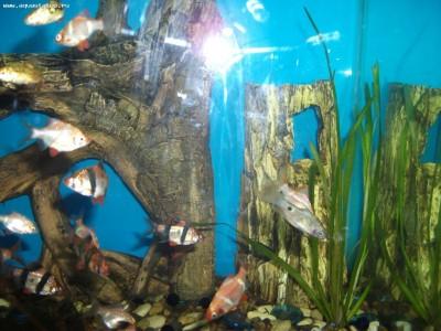 Помогите опознать рыбку опознание рыб  - DSCF7945.JPG
