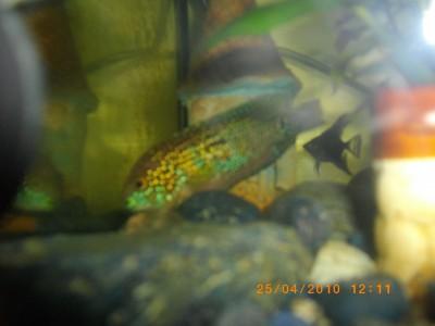 рыбка трется об камни и другие декорации - IMGP0380.JPG
